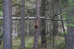 A local red squirrel