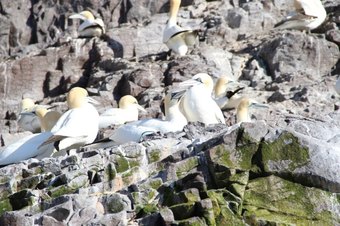 Gannets on The Bass Rock, Firth of Forth