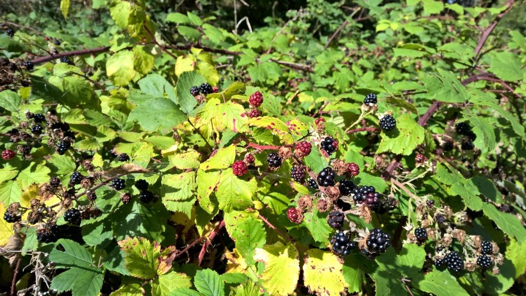 west highland way, scotland, berries, fruits