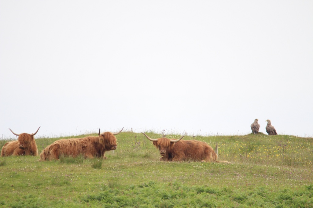 highland cow, field, white tailed eagles, outdoor, islay, scotland