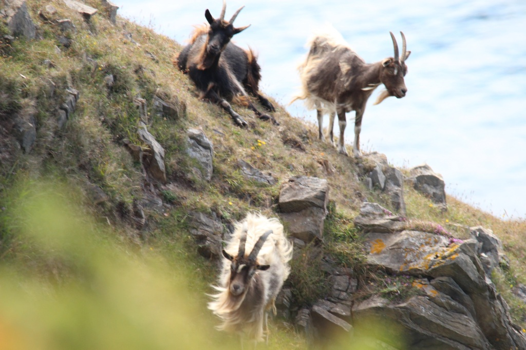 goats, wild goats, cliffs, rocks, oa reserve, islay, scotland