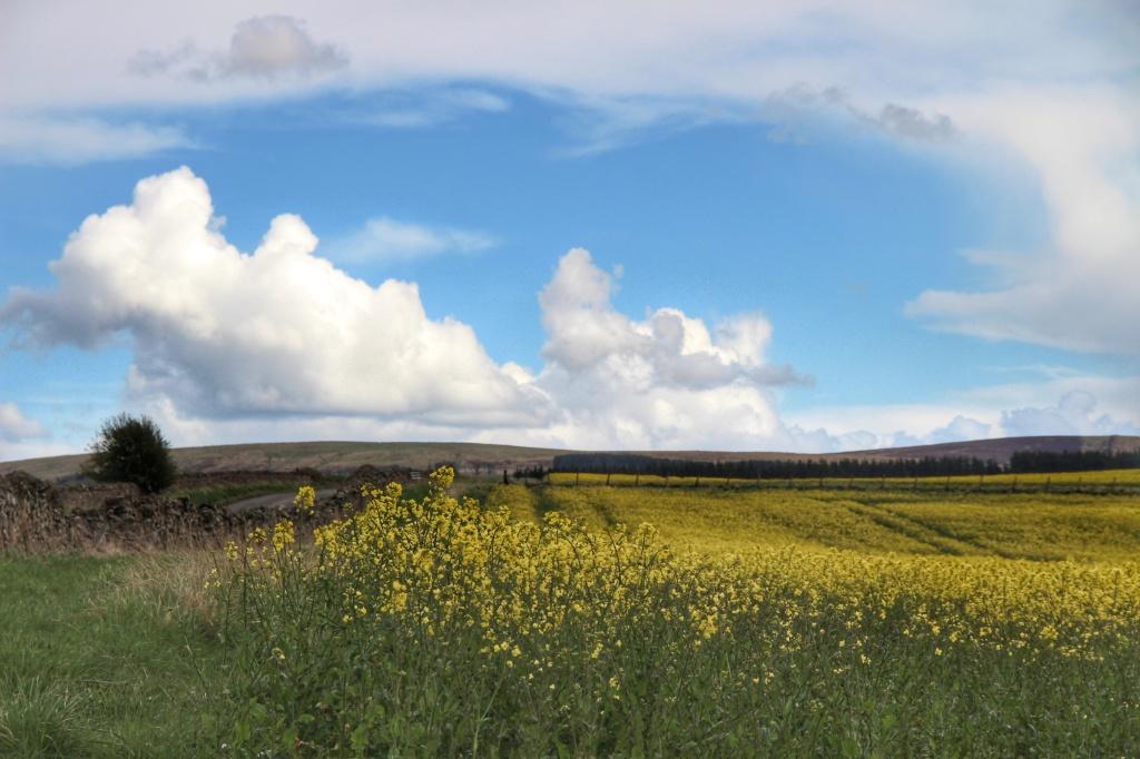 rolling hills, blue skies, yellow buttermilk flowers